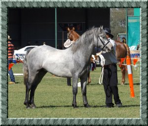 Mouse in show ring at Walbundrie Show 2015